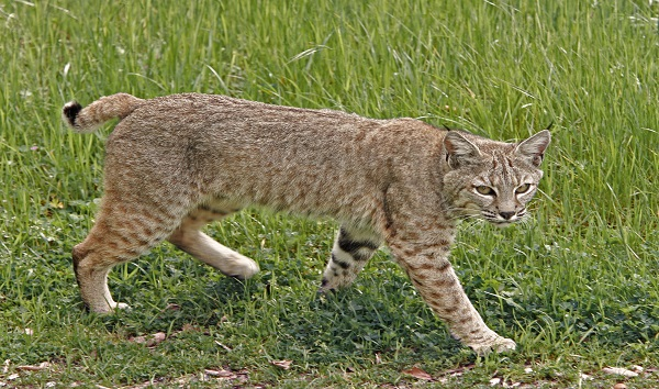 Colorado mother puts injured bobcat in car with her child