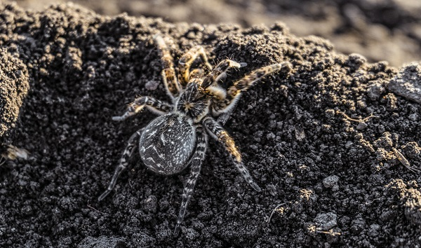 Warm weather amplifies tarantula mating season, but don't fear these 'gentle giants'